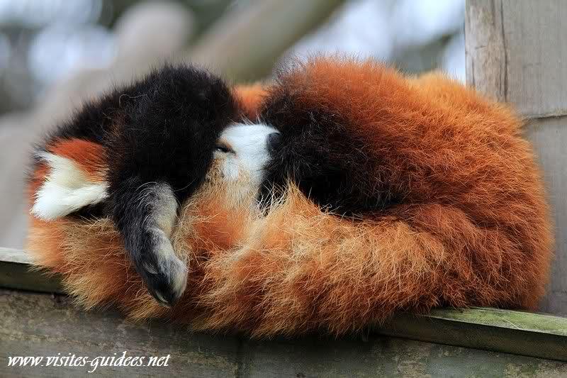 nourriture panda roux