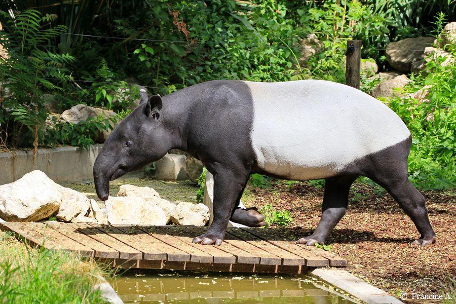 La Menagerie Le Zoo Du Jardin Des Plantes Tengah Tapir Malais